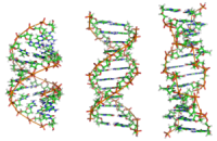 300px-a-dna2c_b-dna_and_z-dna.png
