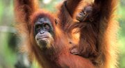 9567-orangutan3.jpg