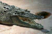 Crocodile_Crocodylus-porosus_amk.jpg