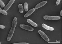 Methanomicrobiales.jpg