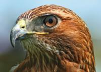 Tailed-Hawk.jpg